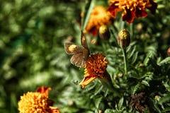 Borboleta que senta-se em uma flor alaranjada do cravo-de-defunto Fotos de Stock Royalty Free