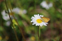 Borboleta que senta-se em uma flor da camomila foto de stock