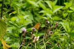 Borboleta que senta-se na flor Fotografia de Stock Royalty Free
