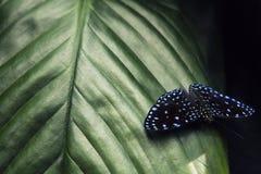 Borboleta que senta-se nas folhas verdes, Indonésia, Ásia Cena dos animais selvagens da floresta fotografia de stock royalty free