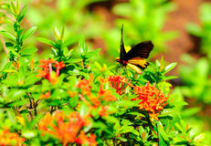 Borboleta que suga o néctar Fotografia de Stock