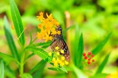 Borboleta que suga o néctar Imagens de Stock