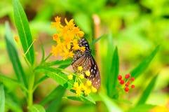 Borboleta que suga o néctar Fotografia de Stock Royalty Free