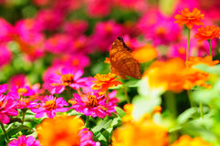 Borboleta que suga o néctar Imagem de Stock Royalty Free