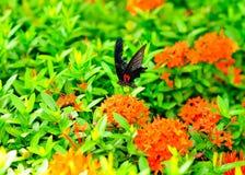 Borboleta que suga o néctar Imagem de Stock