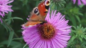 A borboleta recolhe o néctar na flor cor-de-rosa filme