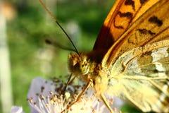 A borboleta recolhe o néctar no jardim Blackberry Fim acima fotos de stock