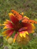 A borboleta seleciona o pólen a flor Fotografia de Stock Royalty Free