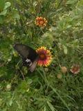 A borboleta seleciona o pólen a flor Foto de Stock