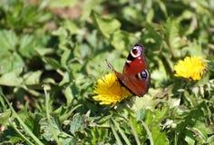 A borboleta senta-se em um dente-de-leão Fotos de Stock