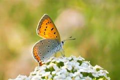 A borboleta senta-se nas flores brancas imagens de stock royalty free