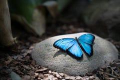 Borboleta simplesmente azul Fotografia de Stock Royalty Free