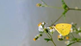 a borboleta suga o néctar Imagens de Stock Royalty Free