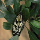 Borboleta Swallowtail fotografia de stock royalty free