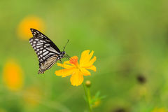 A borboleta, terra comum mimica (o clytia de Chilasa) foto de stock royalty free