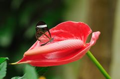 Borboleta transparente em uma flor vermelha Imagens de Stock Royalty Free