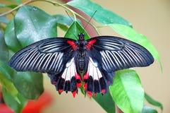 Borboleta tropical Imagem de Stock Royalty Free