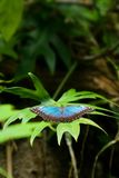 A borboleta tropical Imagem de Stock