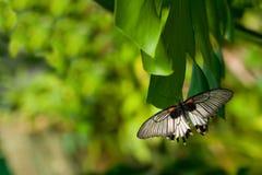 A borboleta tropical Imagem de Stock Royalty Free