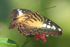 Borboleta tropical fotografia de stock royalty free