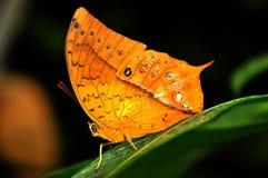 Borboleta tropical alaranjada fotografia de stock