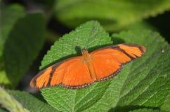 Borboleta tropical alaranjada com asas abertas foto de stock