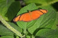 Borboleta tropical alaranjada com asas abertas fotografia de stock