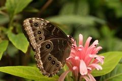 Borboleta tropical bonita que senta-se em uma flor foto de stock