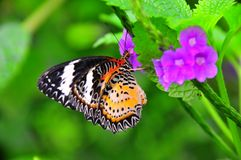 Borboleta tropical colorida na flor violeta Foto de Stock