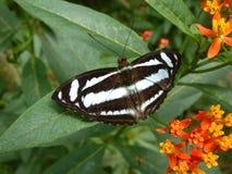 Borboleta tropical da floresta húmida Fotografia de Stock