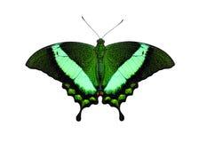 Borboleta tropical Emerald Swallowtail ou pavão Verde-unido, palinurus de Papilio imagem de stock royalty free