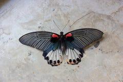 Borboleta velha do machaon de Papilio ou borboleta de Swallowtail no fundo cinzento do cimento imagem de stock royalty free