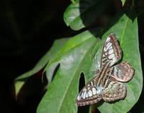 Borboleta verde bonita da tosquiadeira (close up) Foto de Stock Royalty Free