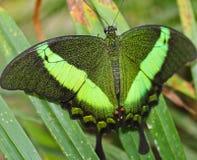 Borboleta verde grande Emerald Swallowtail, foto às asas, Papilio foto de stock royalty free