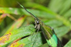 Borboleta verde grande Emerald Swallowtail, foto aos olhos, Papilio foto de stock royalty free