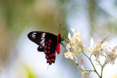 borboleta vermelha Fotografia de Stock Royalty Free