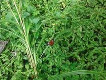 borboleta vermelha Foto de Stock Royalty Free