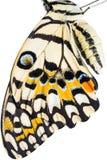 A borboleta voa a textura Imagem de Stock
