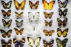 borboletas Fotos de Stock Royalty Free