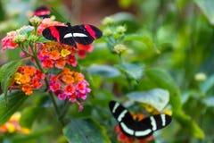 borboletas Imagens de Stock Royalty Free