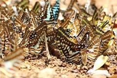borboletas Imagens de Stock