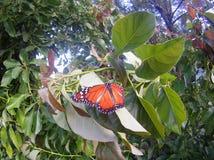 borboletas Foto de Stock Royalty Free