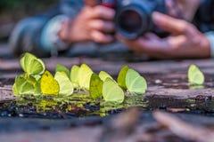 Borboletas amarelas Imagens de Stock