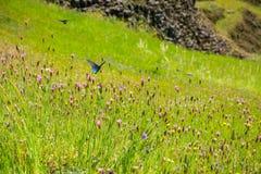 Borboletas azuis de Swallowtail (philenor de Battus) que alimentam em um campo dos wildlfowers do rosa de Childing (nanteuilii de fotos de stock