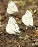 borboletas brancas Preto-veadas Foto de Stock