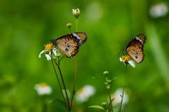 Borboletas com as flores selvagens brancas da margarida Imagens de Stock Royalty Free