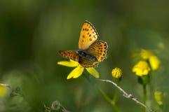 borboletas da Cobre-borboleta Imagens de Stock