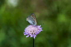 borboletas da Cobre-borboleta Imagem de Stock Royalty Free