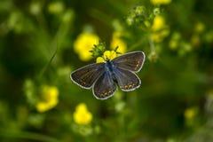 borboletas da Cobre-borboleta Fotografia de Stock