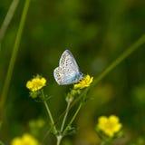 borboletas da Cobre-borboleta Fotos de Stock